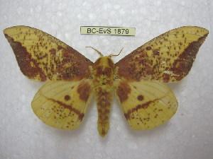 (Eacles imperialis opaca - BC-EvS 1879)  @16 [ ] Copyright (2010) Eric Van Schayck Research Collection of Eric Van Schayck