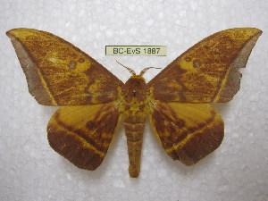 (Eacles silkae - BC-EvS 1887)  @14 [ ] Copyright (2010) Eric Van Schayck Research Collection of Eric Van Schayck
