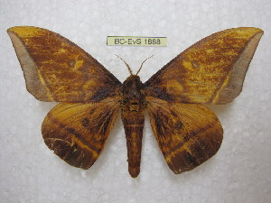 (Eacles silkae - BC-EvS 1888)  @14 [ ] Copyright (2010) Eric Van Schayck Research Collection of Eric Van Schayck