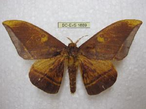 (Eacles silkae - BC-EvS 1889)  @16 [ ] Copyright (2010) Eric Van Schayck Research Collection of Eric Van Schayck