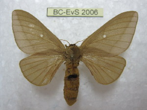 (Anisota leucostygma - BC-EvS 2006)  @14 [ ] Copyright (2010) Eric Van Schayck Research Collection of Eric Van Schayck