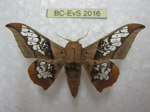 (Ceratocampinae - BC-EvS 2016)  @15 [ ] Copyright (2010) Eric Van Schayck Research Collection of Eric Van Schayck