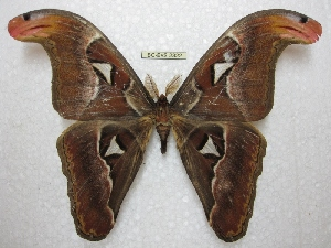(Attacus lemairei - BC-EvS 2322)  @11 [ ] Copyright (2010) Eric Van Schayck Research Collection of Eric Van Schayck