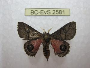 (Auroraia - BC-EvS 2581)  @14 [ ] Copyright (2012) Eric van Schayck Research Collection of Eric Van Schayck