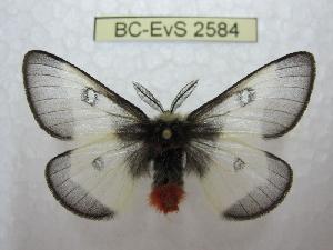 (Hemileuca lucina - BC-EvS 2584)  @11 [ ] Copyright (2012) Eric van Schayck Research Collection of Eric Van Schayck
