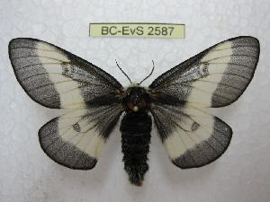 (Hemileuca maia - BC-EvS 2587)  @13 [ ] Copyright (2012) Eric van Schayck Research Collection of Eric Van Schayck