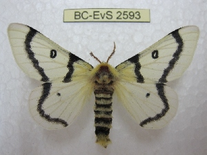(Hemileuca burnsi - BC-EvS 2593)  @14 [ ] Copyright (2012) Eric van Schayck Research Collection of Eric Van Schayck