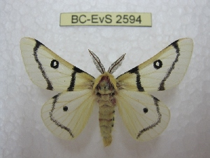 (Hemileuca burnsi - BC-EvS 2594)  @14 [ ] Copyright (2012) Eric van Schayck Research Collection of Eric Van Schayck