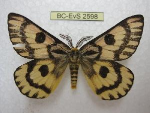 (Hemileuca eglanterina - BC-EvS 2598)  @15 [ ] Copyright (2012) Eric van Schayck Research Collection of Eric Van Schayck
