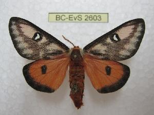 (Hemileuca electra electra - BC-EvS 2603)  @11 [ ] Copyright (2012) Eric van Schayck Research Collection of Eric Van Schayck