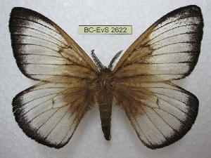 (Ithomisa - BC-EvS 2622)  @15 [ ] Copyright (2012) Eric van Schayck Research Collection of Eric Van Schayck