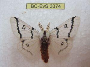 (Hemileuca neugemoni - BC-EvS 3374)  @13 [ ] No Rights Reserved (2014) Eric van Schayck Unspecified