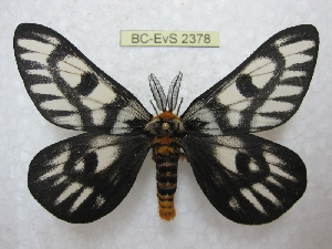 (Hemileuca hera - BC-EvS 2378)  @14 [ ] Copyright (2010) Eric Van Schayck Research Collection of Eric Van Schayck