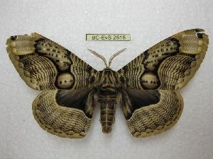 (Brahmaea wallichii insulatris - BC-EvS 2515)  @11 [ ] Copyright (2012) Eric van Schayck Unspecified