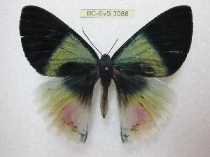 (Alcides aurora - BC-EvS 3088)  @11 [ ] Copyright (2012) Eric van Schayck Unspecified