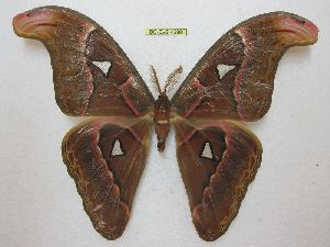 (Attacus lorquinii - BC-EvS 4280)  @14 [ ] No Rights Reserved (2015) Eric van Schayck Unspecified