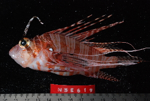(Pterois antennata - NBE0619)  @15 [ ] No Rights Reserved  Unspecified Unspecified