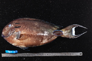 (Acanthurus tennentii - NBE1096)  @14 [ ] No Rights Reserved  Unspecified Unspecified