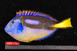 (Paracanthurus hepatus - NBE1105)  @14 [ ] No Rights Reserved  Unspecified Unspecified