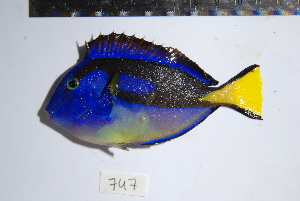 (Paracanthurus hepatus - REU0747)  @14 [ ] No Rights Reserved  Unspecified Unspecified