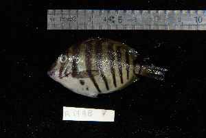 (Acanthurus polyzona - REU1748)  @13 [ ] No Rights Reserved  Unspecified Unspecified