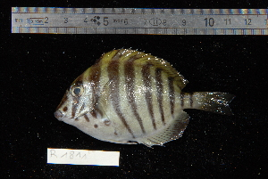 (Acanthurus polyzona - REU1811)  @13 [ ] No Rights Reserved  Unspecified Unspecified