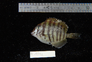 (Acanthurus polyzona - REU1812)  @13 [ ] No Rights Reserved  Unspecified Unspecified