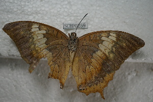 (Charaxes bernardus - SCBP0259)  @15 [ ] Unspecified (default): All Rights Reserved (2015) Unspecified Unspecified