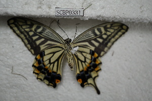 (Papilio xuthus - SCBP0331)  @11 [ ] Unspecified (default): All Rights Reserved (2015) Unspecified Unspecified