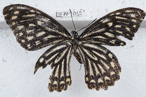 (Papilio clytia - SCBP1042)  @13 [ ] Unspecified (default): All Rights Reserved (2015) Unspecified Unspecified