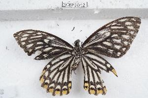 (Papilio clytia - SCBP1042)  @11 [ ] Unspecified (default): All Rights Reserved (2015) Unspecified Unspecified