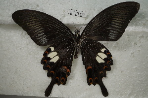 (Papilio helenus - SCBP1139)  @13 [ ] Unspecified (default): All Rights Reserved (2015) Unspecified Unspecified