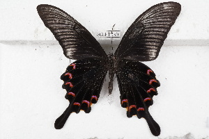 (Papilio bianor - SCBP1230)  @13 [ ] Unspecified (default): All Rights Reserved (2015) Unspecified Unspecified