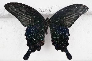 (Papilio dialis - SCBP1231)  @11 [ ] Unspecified (default): All Rights Reserved (2015) Unspecified Unspecified