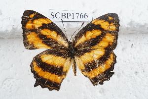 (Symbrenthia lilaea - SCBP1766)  @11 [ ] Unspecified (default): All Rights Reserved (2015) Unspecified Unspecified