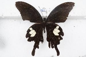 (Papilio helenus - SCBP1811)  @11 [ ] Unspecified (default): All Rights Reserved (2015) Unspecified Unspecified