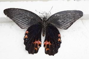 (Papilio protenor - SCBP1842)  @11 [ ] Unspecified (default): All Rights Reserved (2015) Unspecified Unspecified
