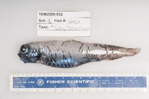 (Bathylagus euryops - 08-072)  @13 [ ] Unspecified (default): All Rights Reserved  Unspecified Unspecified