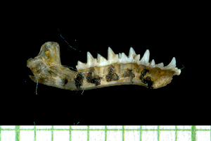 (Myotis chiloensis - MACN16246)  @11 [ ] Copyright (2013) Unspecified Unspecified