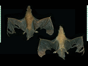 (Myotis simus - MACN18033)  @11 [ ] CreativeCommons - Attribution Non-Commercial Share-Alike (2013) Unspecified Unspecified