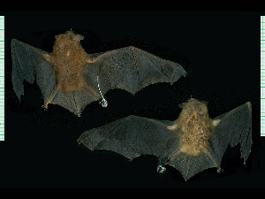 (Myotis ruber - MACN20894)  @11 [ ] CreativeCommons - Attribution Non-Commercial Share-Alike (2013) Unspecified Unspecified