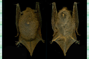 (Myotis chiloensis - MACN23651)  @11 [ ] CreativeCommons - Attribution Non-Commercial Share-Alike (2013) Unspecified Unspecified