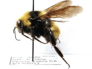 (Bombus crotchii - KJH.528)  @15 [ ] Unspecified (default): All Rights Reserved  Unspecified Unspecified