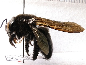 (Xylocopa varipuncta - KJH.2636)  @15 [ ] Unspecified (default): All Rights Reserved  Unspecified Unspecified