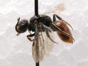 (Sphecodes prosphorus - KJH.542)  @14 [ ] Unspecified (default): All Rights Reserved  Unspecified Unspecified