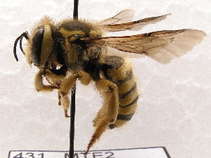 (Anthidium illustre - KJH.431)  @11 [ ] Unspecified (default): All Rights Reserved  Unspecified Unspecified