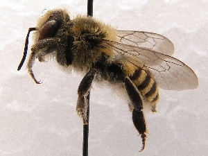(Megachile SanDiego Sp.1 - KJH.5749)  @14 [ ] Unspecified (default): All Rights Reserved  Unspecified Unspecified