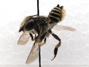 (Megachile SanDiego Sp.2 - KJH.3688)  @11 [ ] Unspecified (default): All Rights Reserved  Unspecified Unspecified