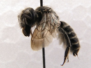(Megachile SanDiego Sp.3 - KJH.3977)  @14 [ ] Unspecified (default): All Rights Reserved  Unspecified Unspecified
