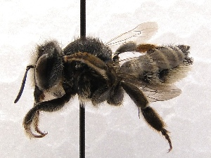 (Megachile SanDiego Sp.4 - KJH.3259)  @13 [ ] Unspecified (default): All Rights Reserved  Unspecified Unspecified